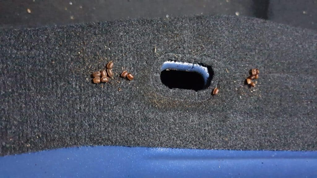 Brown cockroach eggs on black carpet in the car
